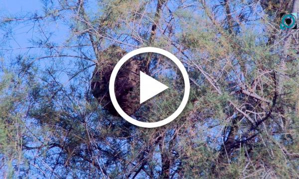 La Selva posa a prova un nou sistema en la lluita contra la vespa asiàtica